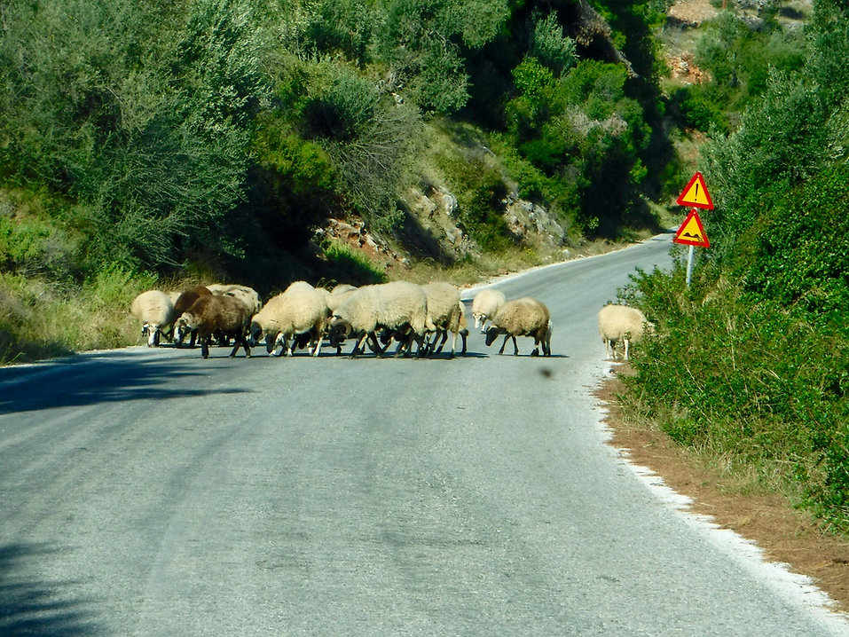 Twelve sheep in the middle of a road in Alonissos