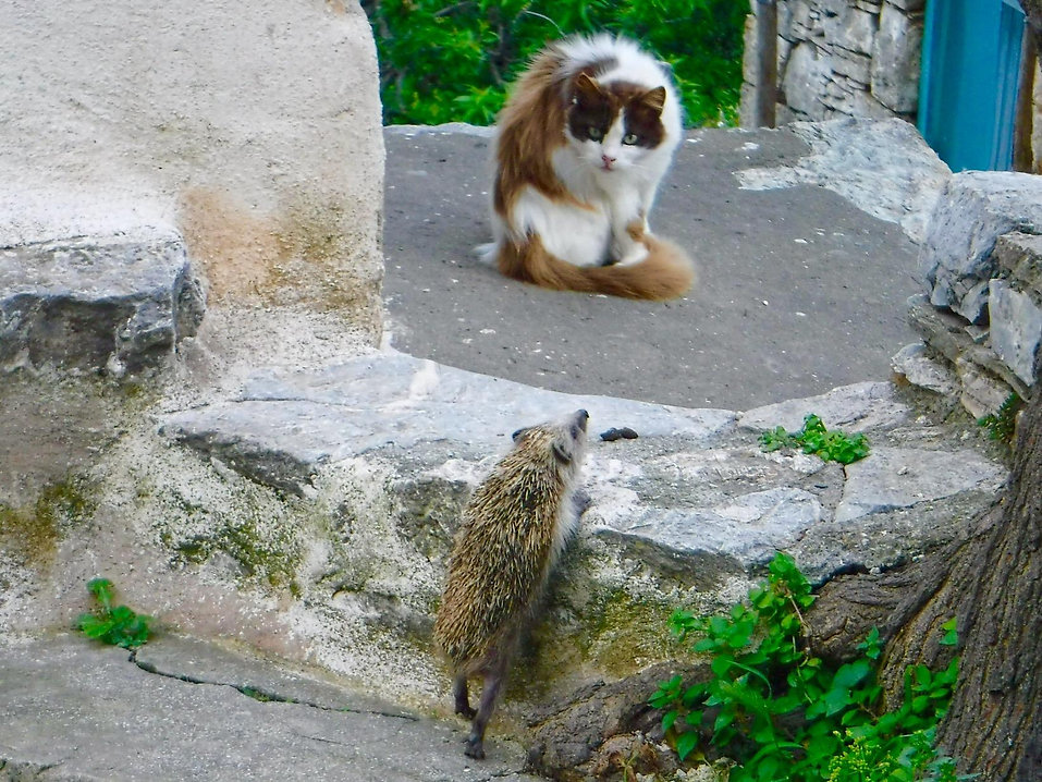 A hedgehog climbing a step to see a cat