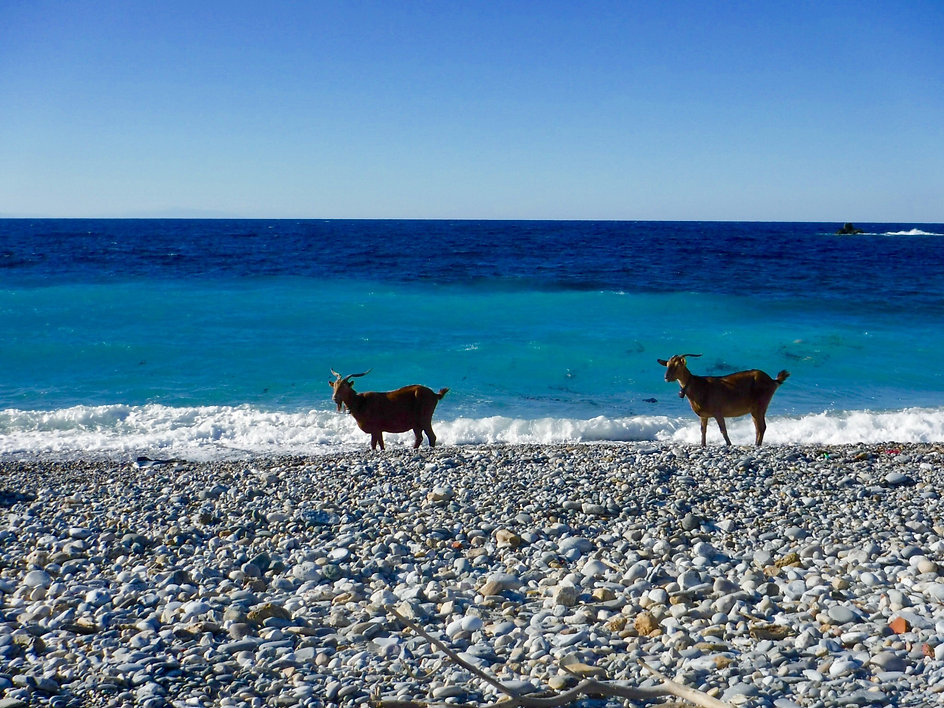 Two goats on the beach on Alonissos