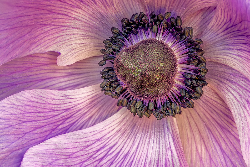 Poppy Closeup