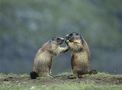 shutterstock_207616099 two marmots.jpeg