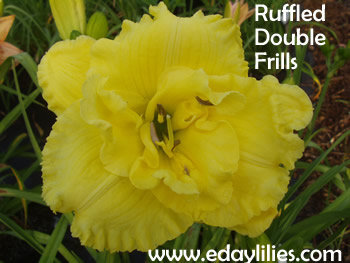 RUFFLED DOUBLE FRILLS