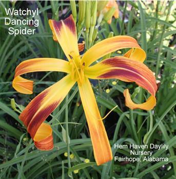WATCHYL DANCING SPIDER