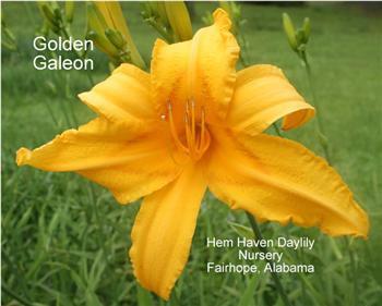 GOLDEN GALEON