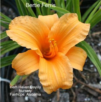 Bertie Ferris