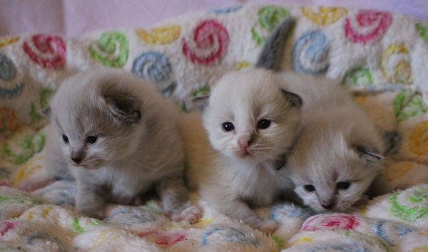 Neva Masquarade Kitten O2-Wurf 2 Wochen.JPG