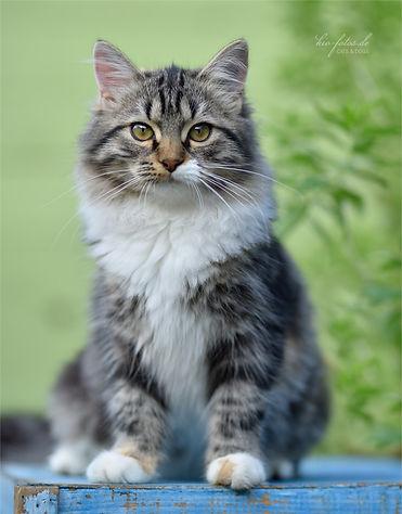Sibirische Katzen Palaisdhiver Lucie.jpg