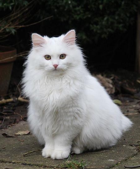 Sibirische Katze Palaisdhiver Neige Maran.JPG