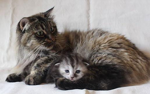 💖 Sibirische Katze