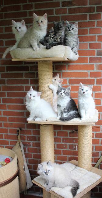 Sibirische Katzen Babys Neva Masquarade Kitten