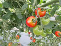 YM堆肥を使用したトマトです。