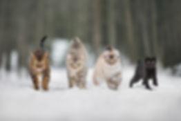 chat higland lynx savannah dans neige