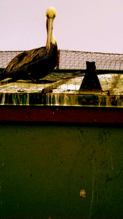 royal brown pelican 2