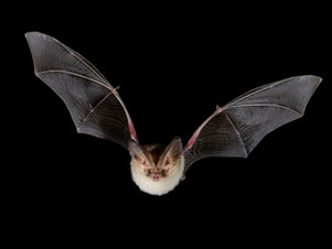 Growing old, yet staying young: The role of telomeres in bats' exceptional longevity