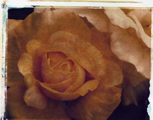 10x8 Yellow Rosejpg.jpg