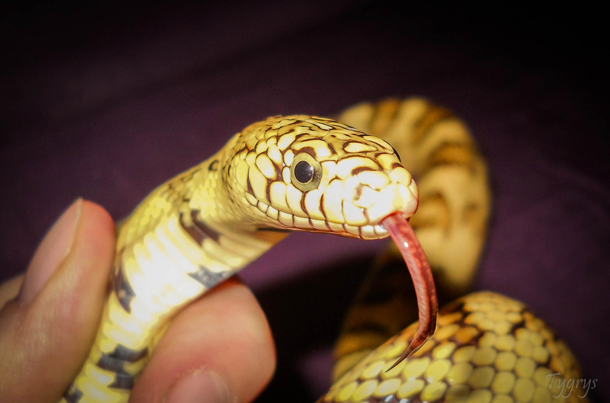 List of known Colubrid hybrids | Shah Foladi Purebred&Hybrid Snakes