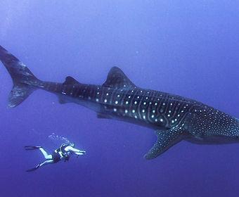 Ryan Johnson DIVE ARMY Whale Shark PADI