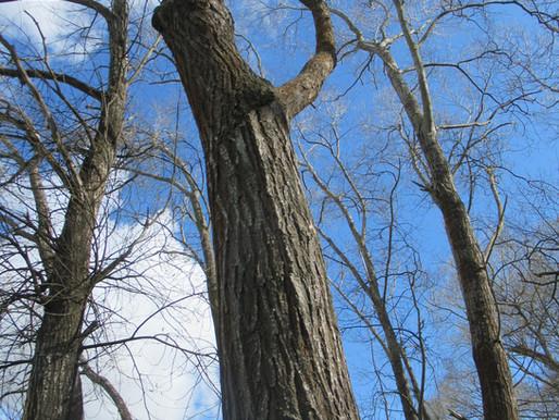 Arboricultural Tree Survey & QTRA