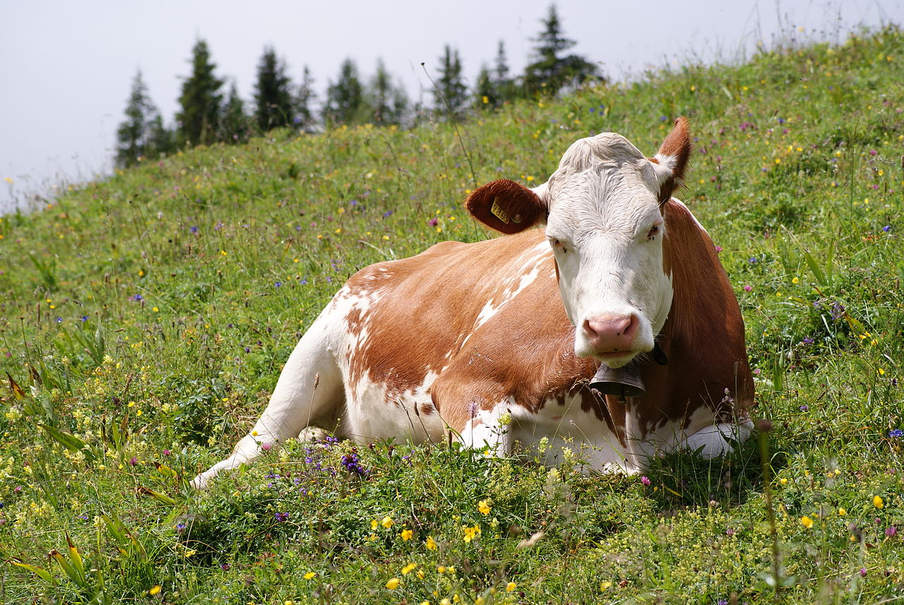 1280px-Cow_(Fleckvieh_breed)_Oeschinensee_Slaunger_2009-07-07