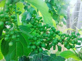 ブドウたち完璧な受粉です!