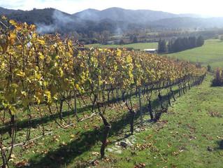 ソーヴィニヨンブラン、本日の畑とワイン