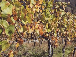 収穫の終えたビンヤードはすっかり秋の様相です〜