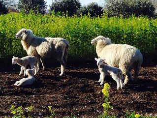子羊(Lambing)のシーズンです~