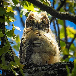Great Horned Owlets.jpg