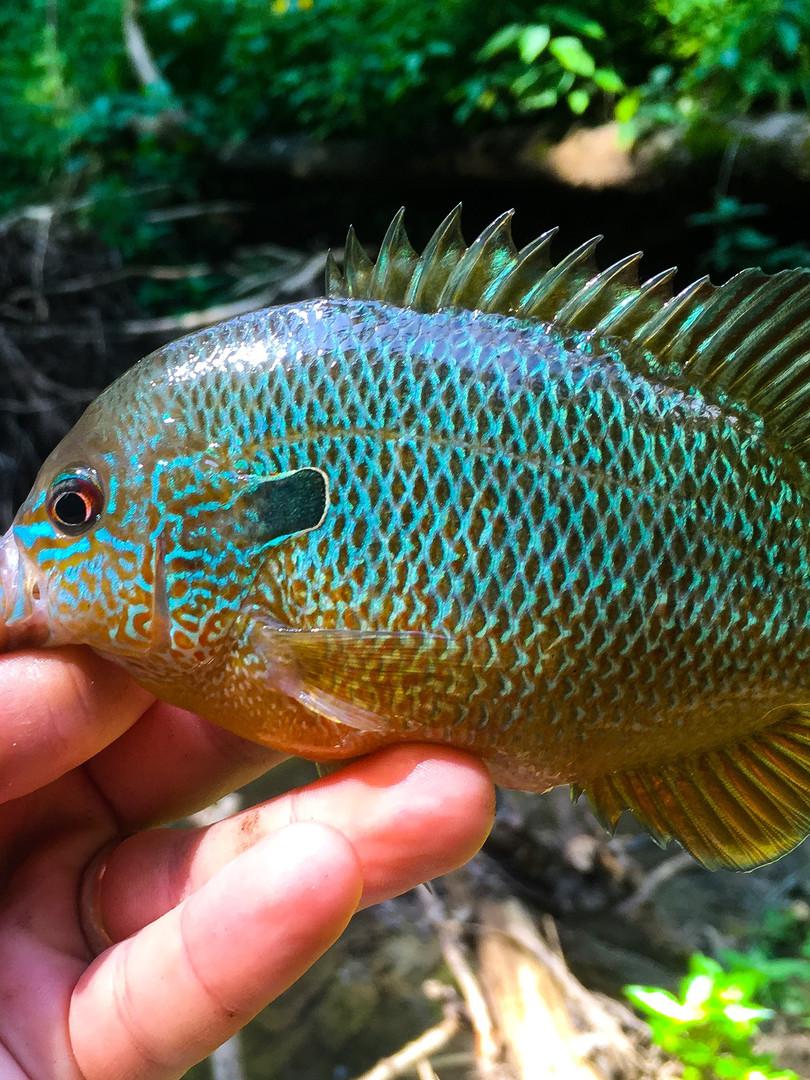 Longear Sunfish