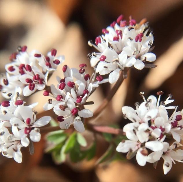 Harbinger-of-Spring