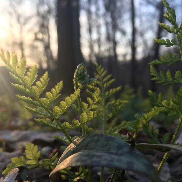 Southern Fragile Fern