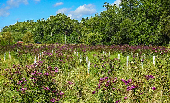 Citizens Easement Ironweed and Tree Plan