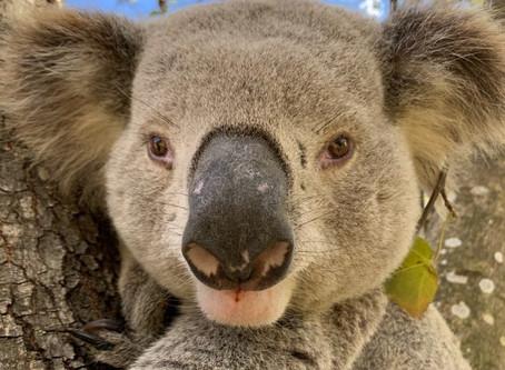 Koalas are very happy at Wedderburn