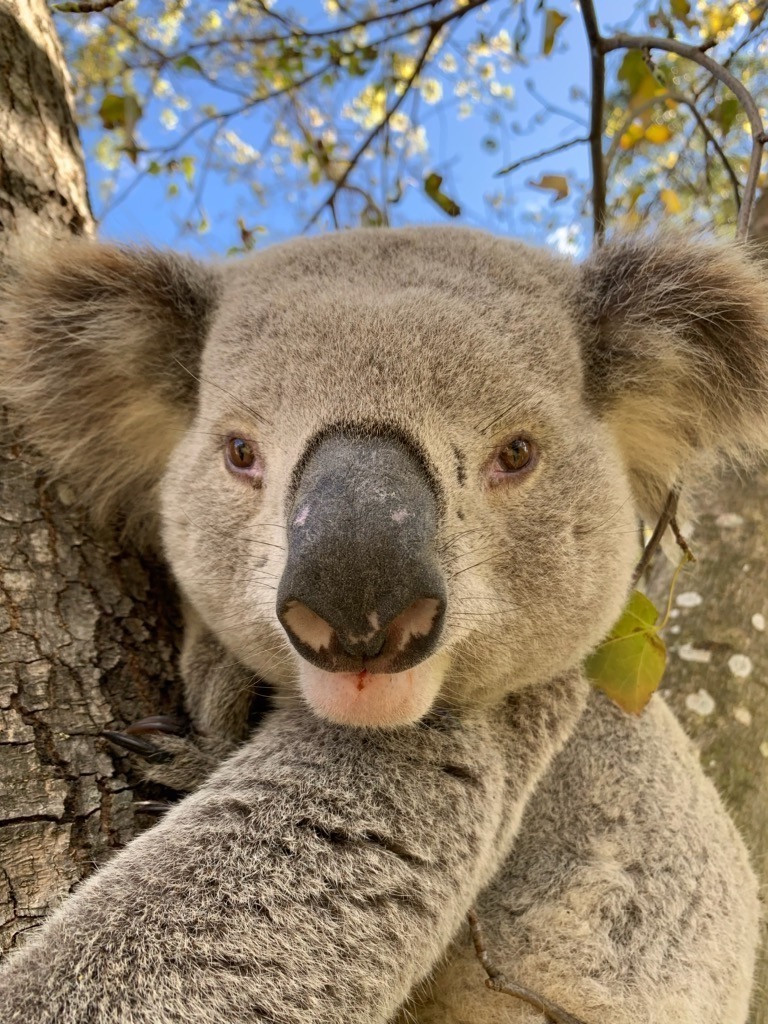 Big Russ, the dominant male Koala.