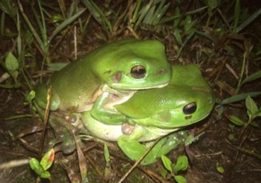 Green Tree Frog.jpg