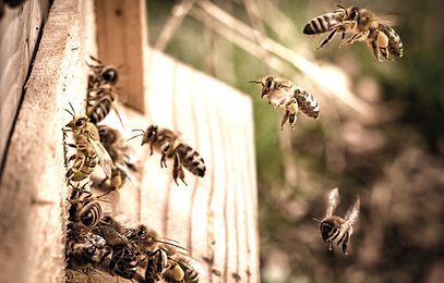 Honey%20bees%20flying%20into%20beehive%2