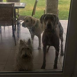 Nikki Scottish terrier, Lara Labradora,