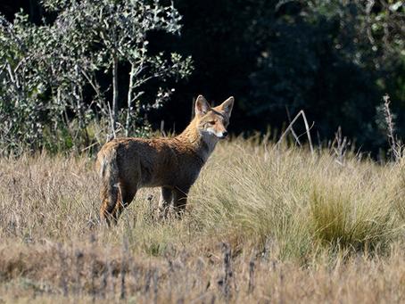 Sistema de denuncias ambientales permitió detener acciones de caza ilegal de ñandúes y zorros
