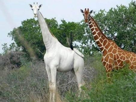 Muerte de jirafas blancas a manos de cazadores furtivos causa indignación