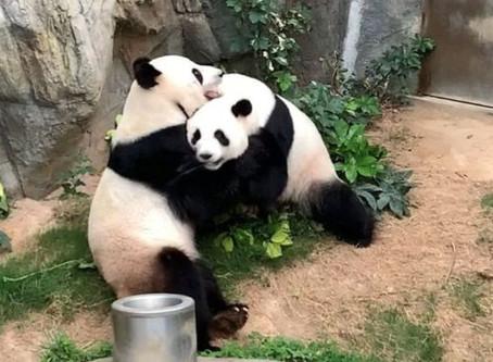 La pareja de pandas que logró aparearse (en la privacidad de la cuarentena)