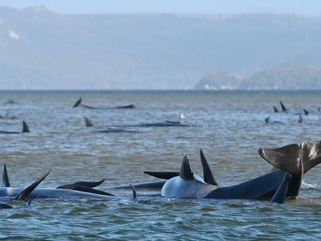 Muere un tercio de las 270 ballenas varadas en Australia