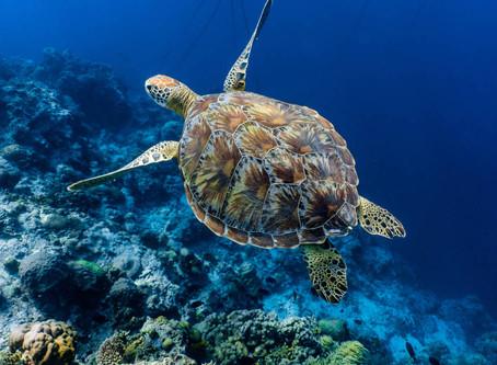 El aislamiento favorece a las tortugas en peligro de extinción