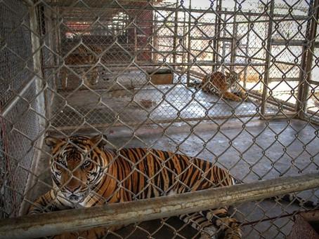 El Comercio Ilegal #TIGRES necesitamos reflexionar frente a esta atroz situación