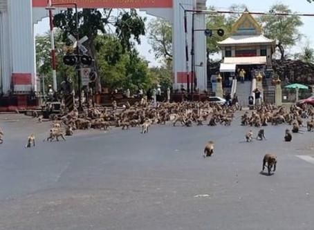 Centenas de monos buscan comida. No hay turistas que los alimenten por el coronavirus