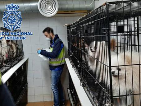 La policía desmantela una banda de cría ilegal de chihuahuas y rescata 270 perros