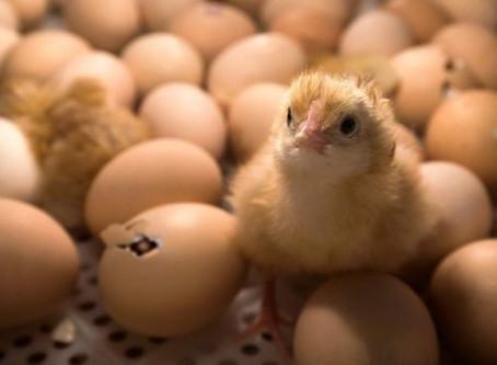 Triturados vivos: el terrible destino de los pollitos macho en la industria avícola