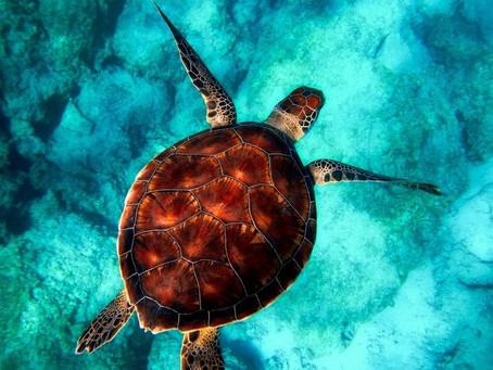 Estudio revela por qué las tortugas están comiendo plástico
