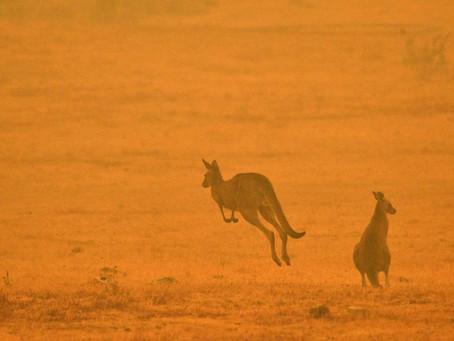 Murieron unos 480 millones de animales en los incendios en Australia