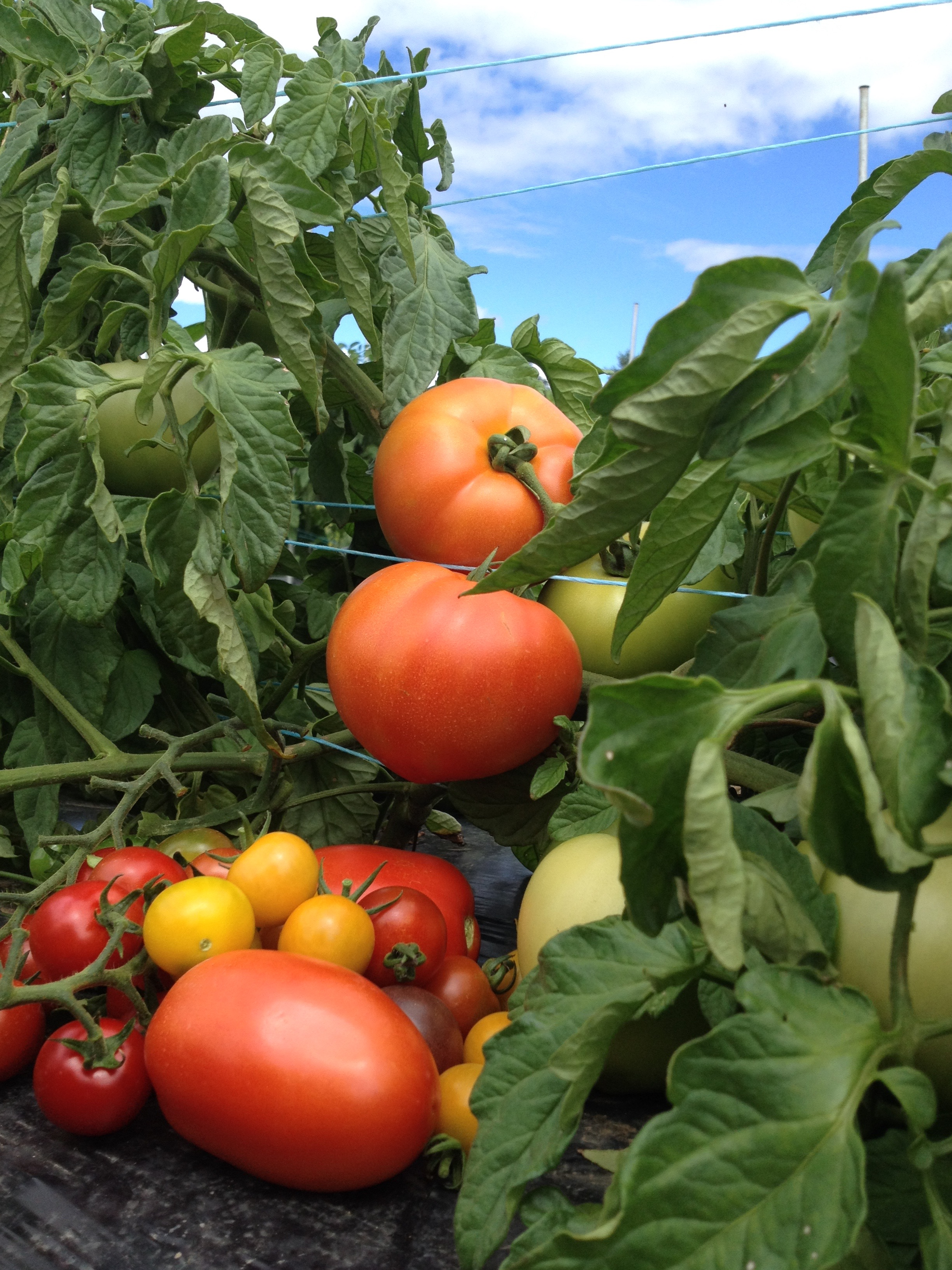 Tomates de champs