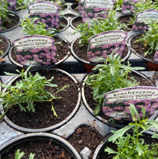 Brachyscome Mini Mauve Delight Outback Plants